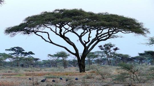 Veel Afrikaanse volken geloven dat de eerste mensen uit een boom zijn geboren.
