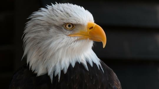 Voor de indianen in Noord-Amerika is de adelaar het symbool van vrede en vriendschap.