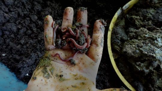 Deze wormen verteren de koeienvlaaien.