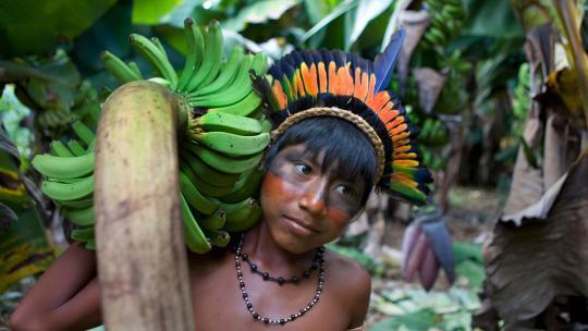 Als Tepkatsie over een tijdje in het nieuwe stuk bos zulke bananentrossen kan plukken, is hij tevreden.