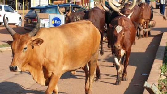 Koeien in het straatbeeld van Kampala