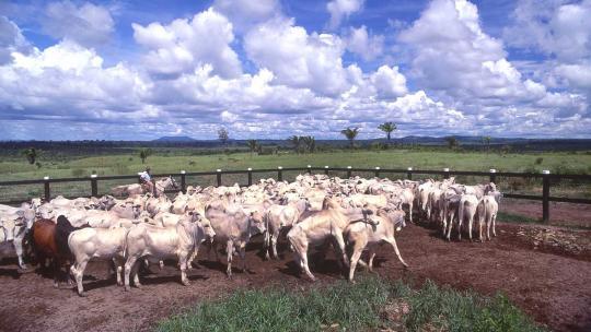 Zoals gezegd produceert Brazilië het meest rundvlees in de hele wereld. Het meeste daarvan eten de Brazilianen zelf op. De rest is bestemd voor de export.
