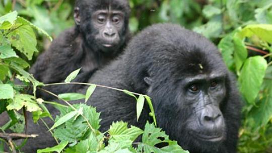 Er zijn animisten die geloven dat gorilla's speciale krachten hebben.
