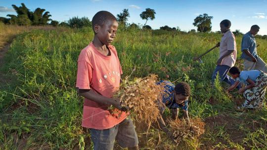 Taulino (12) uit Malawi helpt zijn vader met de pinda-oogst. Pinda's groeien in peulen aan wortels onder de grond.