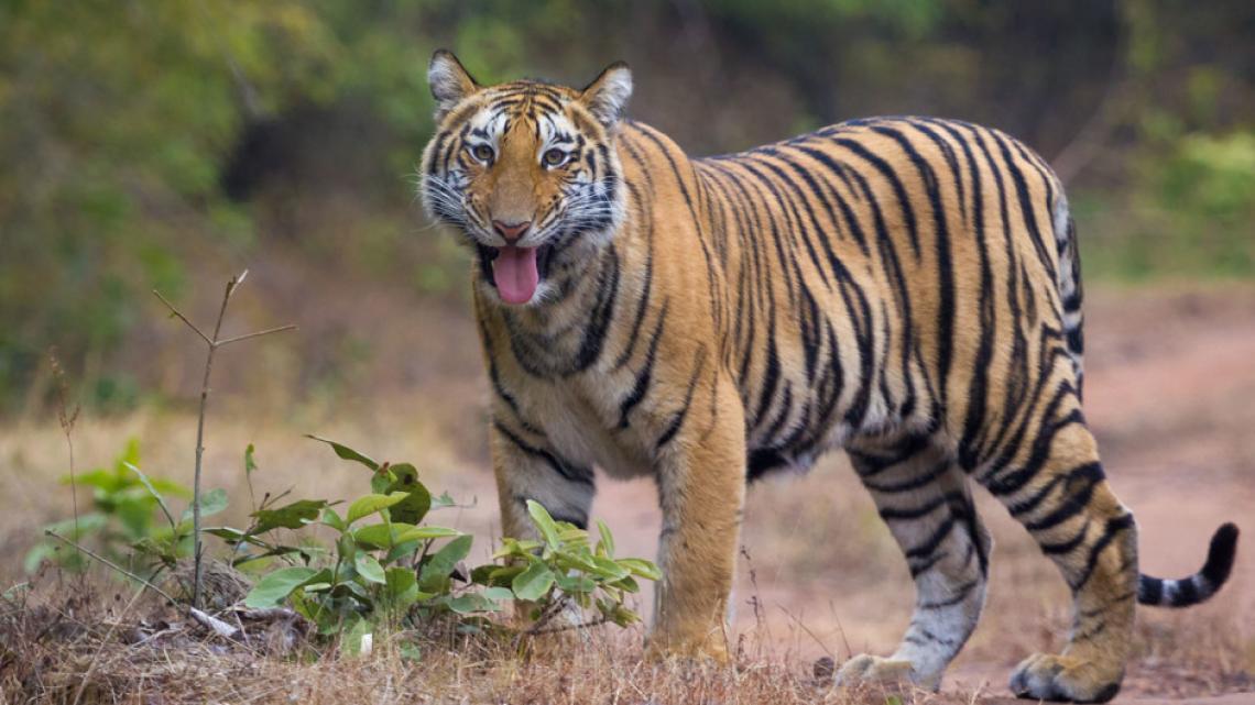 In de bergen van Sumatra geloven de bewoners dat de zielen van hun voorouders voortleven in de tijgers die er leven.