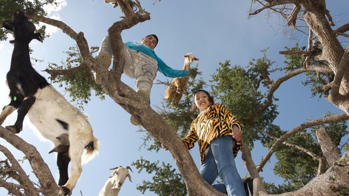 Geiten in de arganbomen: een goede truc om toeristen te lokken.