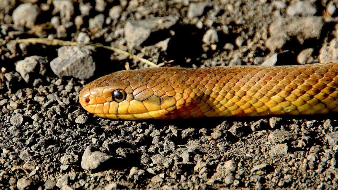 De slang is een belangrijk dier in Indonesië en Australië.