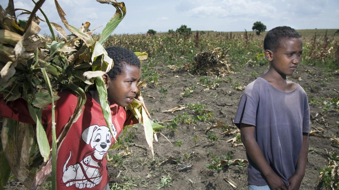 Het maisveldje van Endegu's vader ziet er dor uit.
