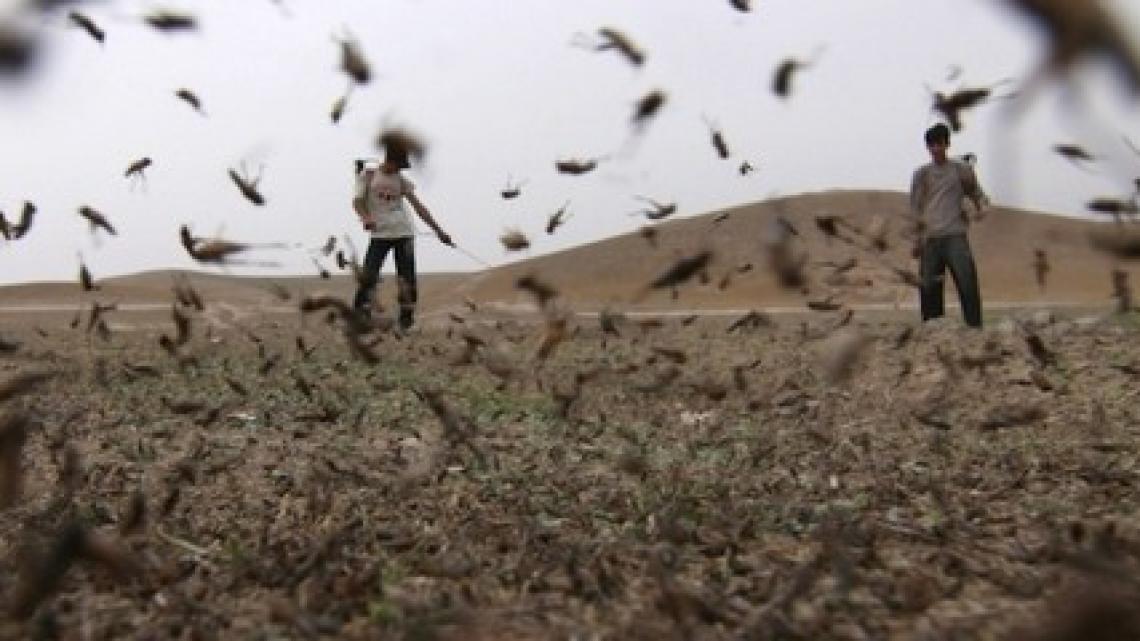 Er een enorme sprinkhanenzwerm trok over het land. Ze vraten alle oogst op die nog niet was vernield door de hagelstenen.