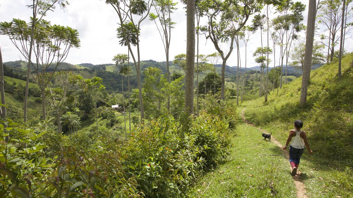 In het tropische klimaat van Colombia groeien de cacaobomen als kool.