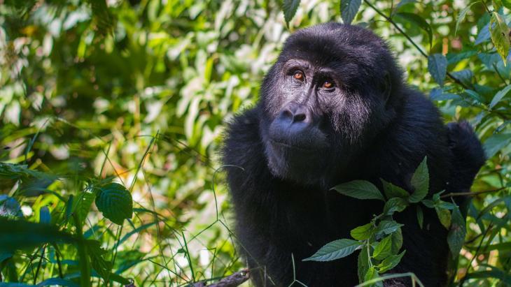 Het gaat steeds beter met de berggorilla's in Rwanda.