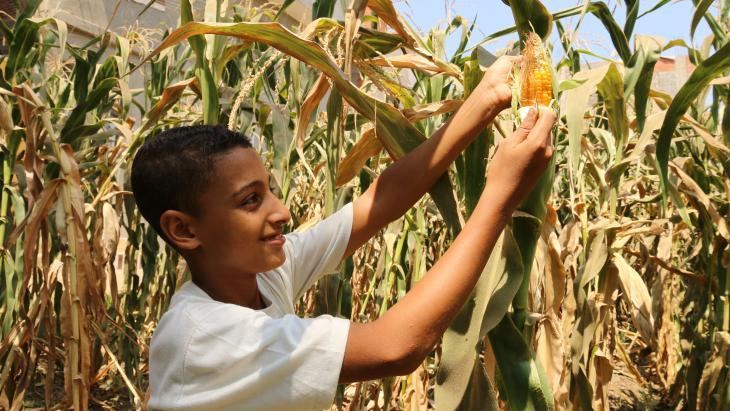 Deze mais is de oogst van genetisch gemodificeerde zaden.