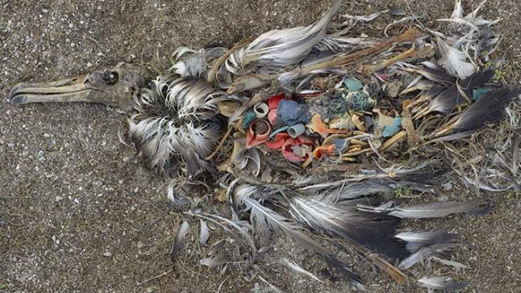 Oceaan_plasticsoep_vogelsterfte